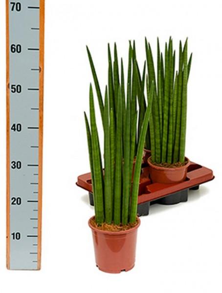 Sansevieria longtail wave 50 cm