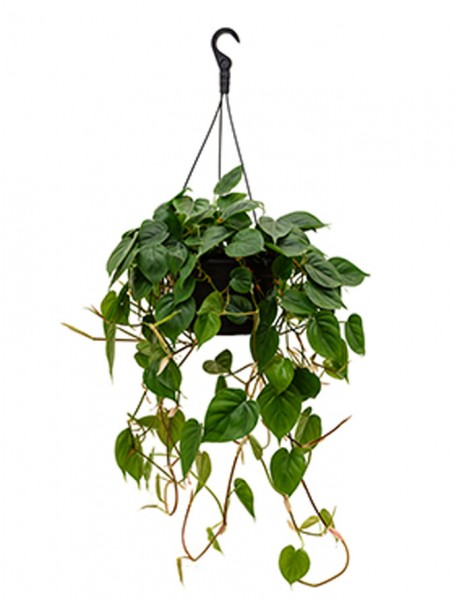 Philodendron scandens Ampel