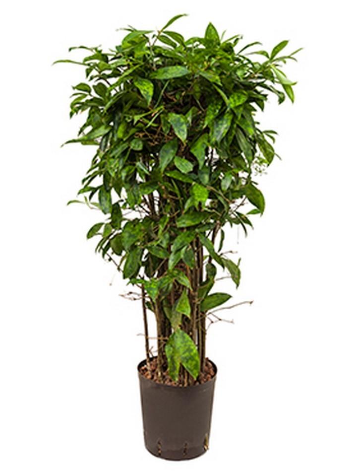 dracaena surculosa drachenbaum terrapalme heim und. Black Bedroom Furniture Sets. Home Design Ideas
