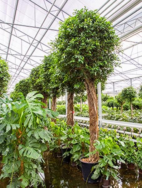 Ficus nitida 420 cm   Lorbeerfeige