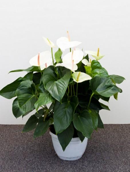 Anthurium and. sierra weiß 65 cm | Flamingoblume