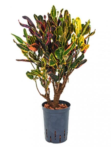 Croton rocio