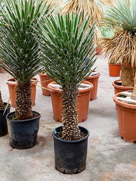 Yucca filifera 140 cm
