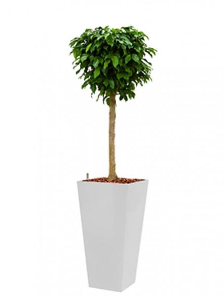 Runner Pflanzkübel eckig bepflanzt mit Ficus columnar
