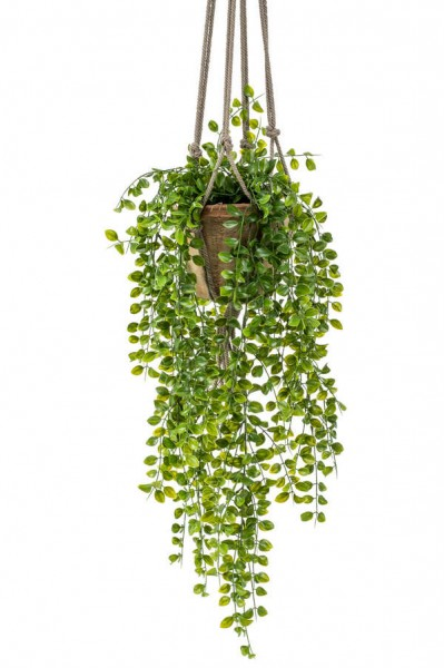 Ficus pumila Ampel 80 cm im hängenden Topf