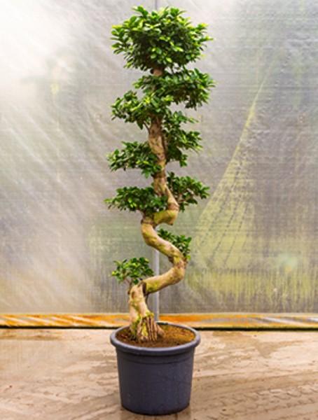 Ficus microcarpa compacta S-Stamm