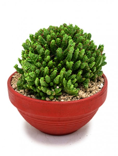 Euphorbia enopla crestata