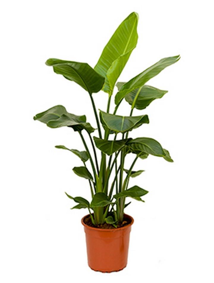 Strelitzia nicolai 100 cm | Baumstrelitzia