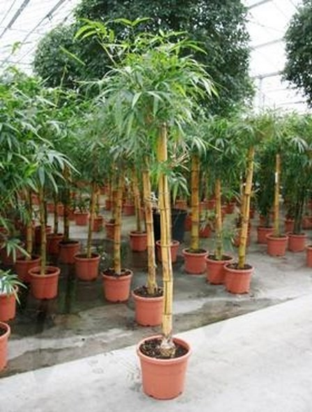 Bambusa vulgaris 200 cm | Gold Bambus