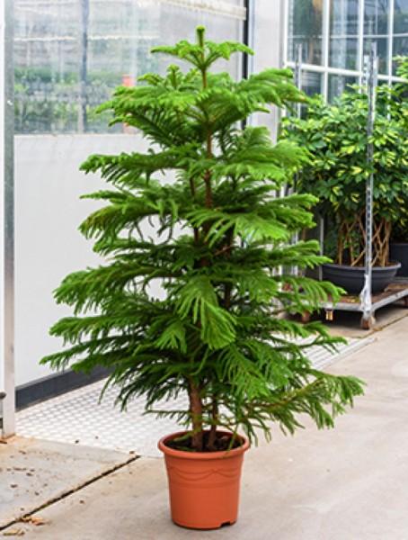 Araucaria heterophylla - Norfolk Tanne