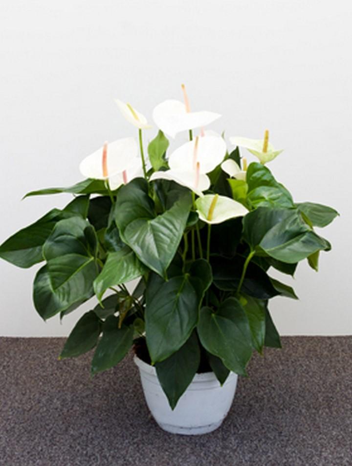 anthurium and sierra wei 65 cm flamingoblume terrapalme heim und gartenshop. Black Bedroom Furniture Sets. Home Design Ideas