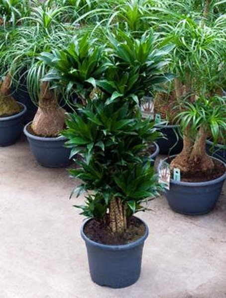 Dracaena compacta 80 cm - Drachenbaum