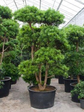 Podocarpus macrophyllus 400 cm