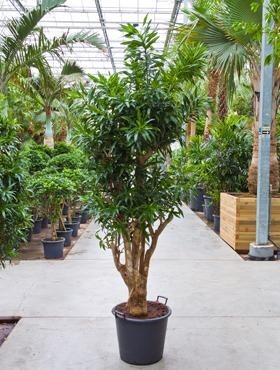 Pleomele song of jamaica 220 cm - Drachenbaum Verzweigt