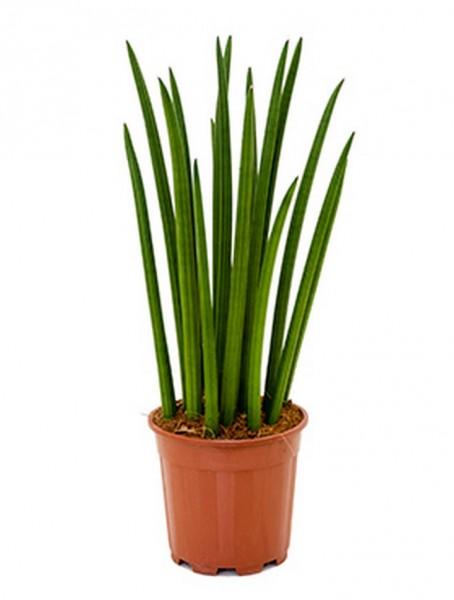 Sansevieria green stripe 50 cm