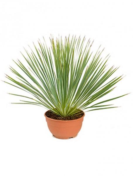 Yucca rostrata Kopf