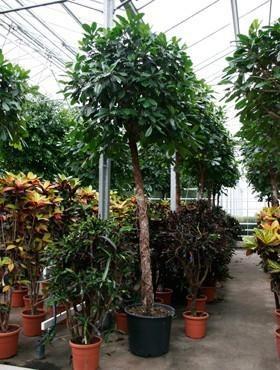 Ficus cyathistipula 375 cm