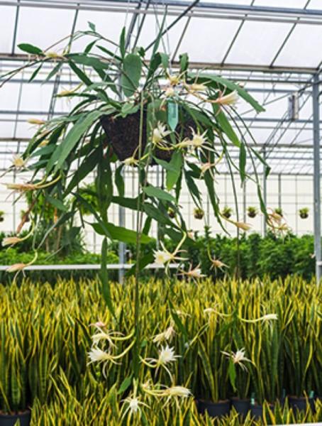 Epiphyllum phyllanthus - Hängepflanze