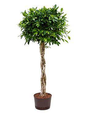 Ficus nitida   Lorbeerfeige geflochten