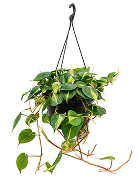 Philodendron grand brasil Ampel