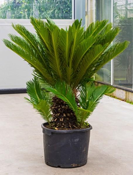 Cycas revoluta 110 cm