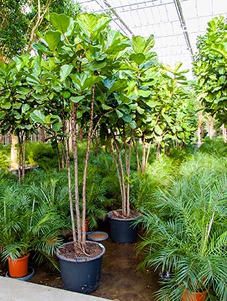 Ficus lyrata 300 cm - Geigenfeige verzweigt