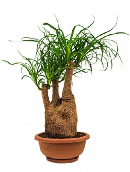 Beaucarnea recurvata - Flaschenbaum verzweigt