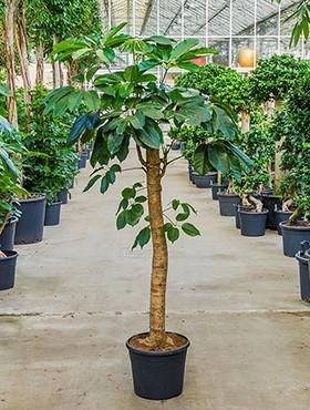 Schefflera amate 190 cm | Strahlenaralie