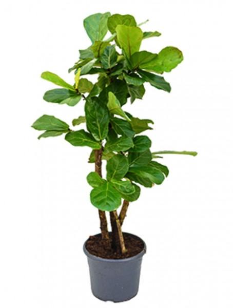 Ficus lyrata - Geigenfeige verzweigt