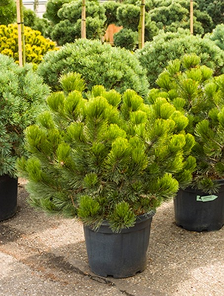 Pinus heldreichii compact