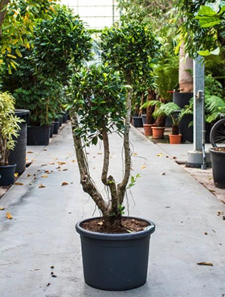 Ficus nitida compacta - Lorbeerfeigen 3er Krone