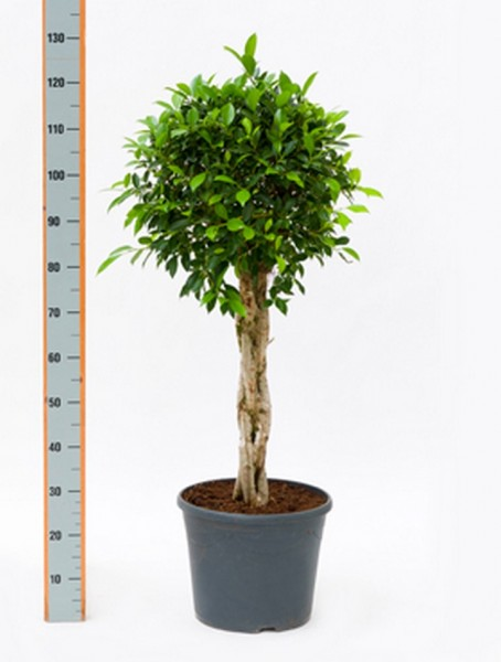 Ficus nitida | Lorbeerfeige geflochten