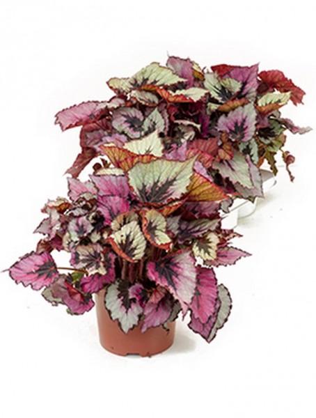 Begonia rex titica 40 cm | Königsbegonie 3 er Tray