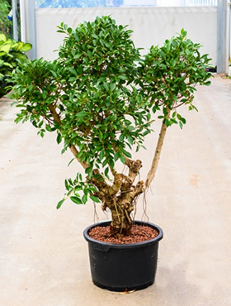 Ficus nitida - Lorbeerfeige verzweigt