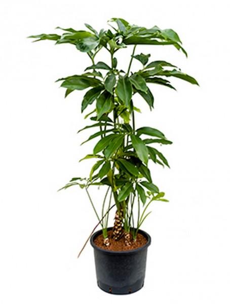Philodendron fun bun 130 cm