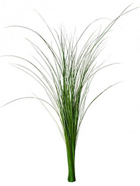 Gynerium Gras Mumienpflanze