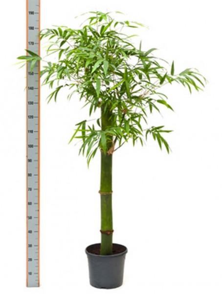 Bambusa vulgaris grün 170 cm - Bambus