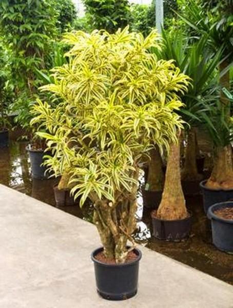 Pleomele song of india | Drachenbaum verzweigt