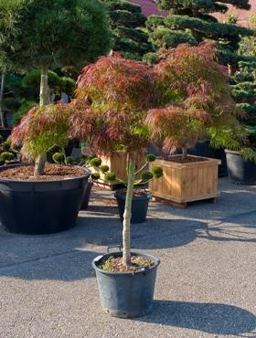 Acer palmatum diss. inaba shidare - Japanische Ahorne