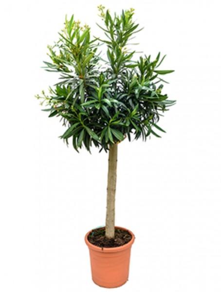 Nerium oleander - Rosenlorbeer