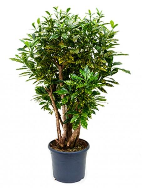 Croton aucubaefolia verzweigt
