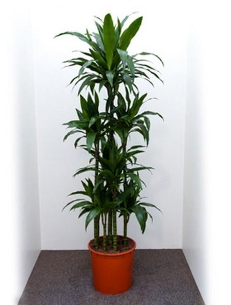 Dracaena janet craig 180 cm - Drachenbaum