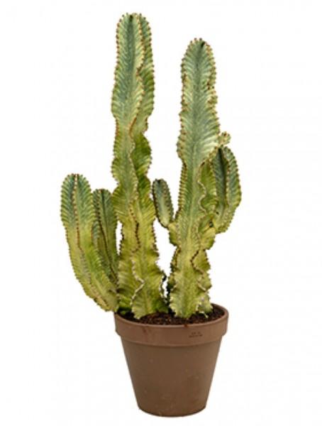 Euphorbia ingens marmoratus