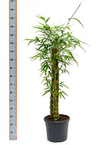 Bambusa ventricosa 130 cm | Bambusbusch