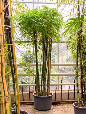 Bambusa siamensis - Bambus multistamm