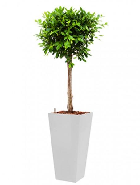 Runner Pflanzkübel eckig bepflanzt mit Ficus nitida