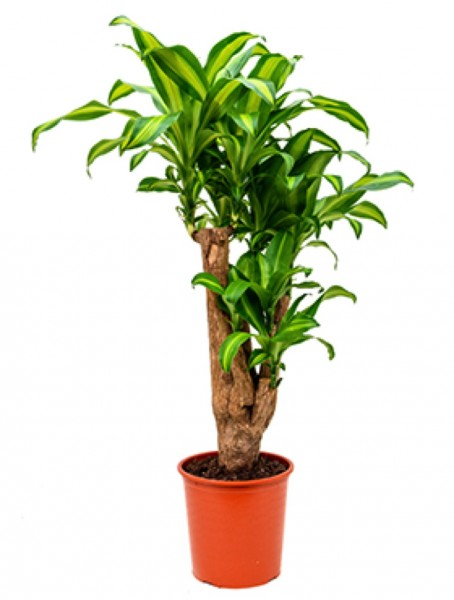 Dracaena massangeana - Drachenbaum Verzweigt