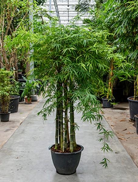 Bambusa siamensis 220 cm