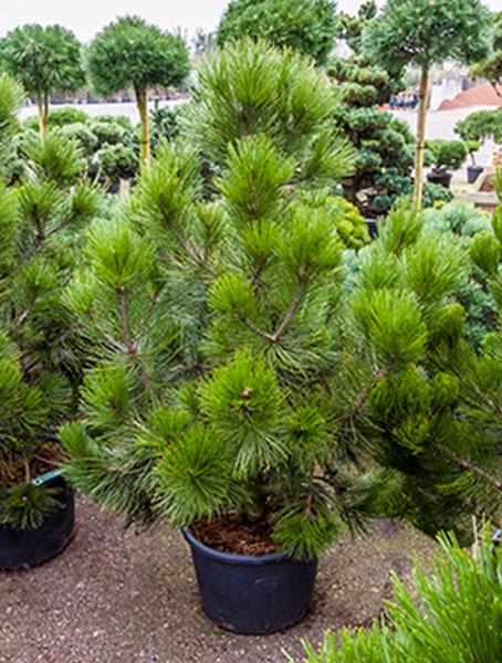 Pinus heldreichii den ouden