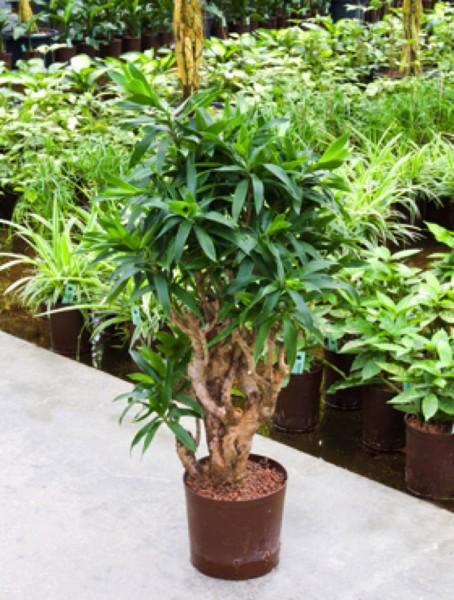 Pleomele reflexa - Drachenbaum